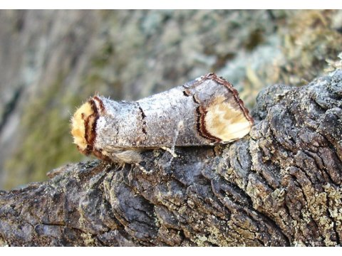 The buff-tip moth (Phalera bucephala) combines its coloration with an unusual body posture when at rest to mimic a section of twig.