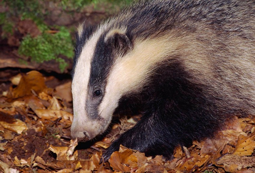 Badger Eyes Are Everywhere But >> European Badger Trees For Life