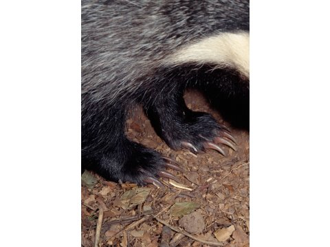 The front claws of the badger are up to 2.5 cm. long.