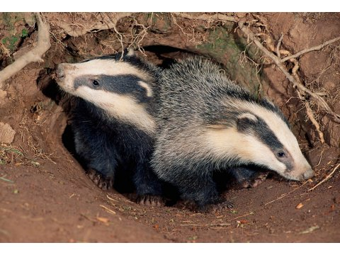 Badger cubs at the entrance to their sett.