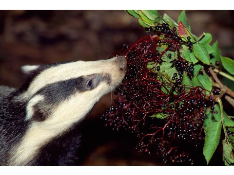 Elderberries are a favourite food of the badger.