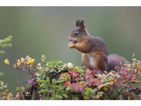 Red squirrels (Sciurus vulgaris) are a major dispersal agent for hazelnuts.