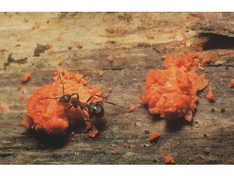 Wood ant (Formica lugubris) harvesting a fungus (Dacrymyces sp.) in Glen Affric. This behaviour had not been recorded before this photograph was taken in 2002.
