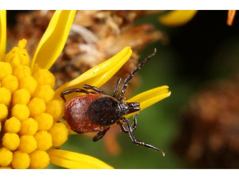 Adult female deer tick (Ixodes ricinus) in 'questing' pose on a ragwort flower (Senecio jacobaea) at Dundreggan.