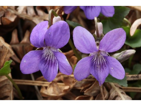 Dog violets (Viola riviniana) have seed pods where the seeds are ready for explosive dispersal as the pods dry out.