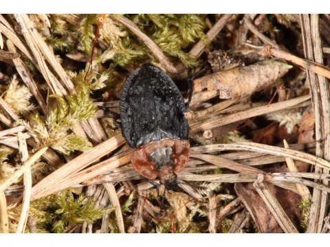 As its name suggests, the red-breasted carrion beetle (Oiceoptoma thoracicum) feeds on carrion, although it is also often seen on stinkhorn fungi (Phallus impudicus), where it is attracted by the fungi's smell of rotting meat.