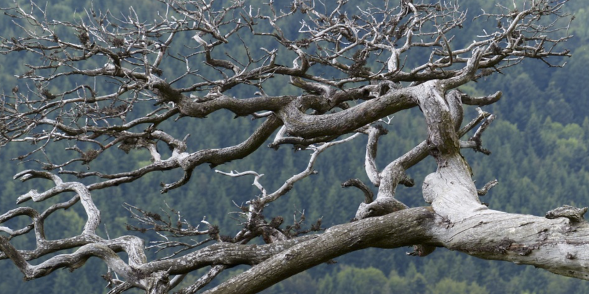 dead-tree-stock-image