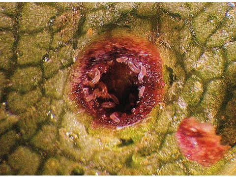 Here, in this photo taken through a microscope, the tiny larvae of the mites (Cecidophyopsis betulae) are visible inside their gall on the birch leaf (Betula spp.). Photo by Rex Hancy.