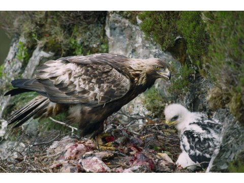 Female golden eagle, with a chick in the nest. Photo by Laurie Campbell.