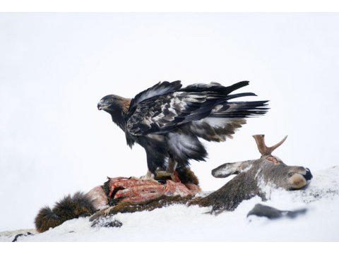 A golden eagle (Aquila chysaetos) scavenging the carcass of a deer.