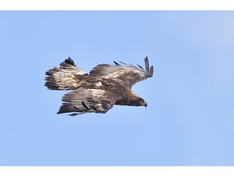 Adult female golden eagle in flight. Photo by Laurie Campbell.