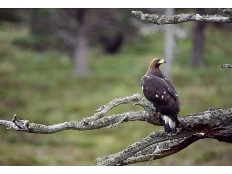 Juvenile golden eagle in a Scots pine tree. Photo by Laurie Campbell.