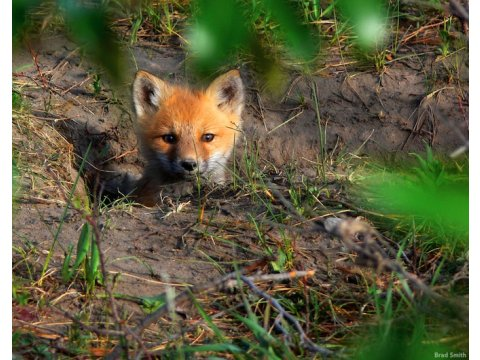 A fox cub (Vulpes vulpes) at the entrance to its 'earth'.