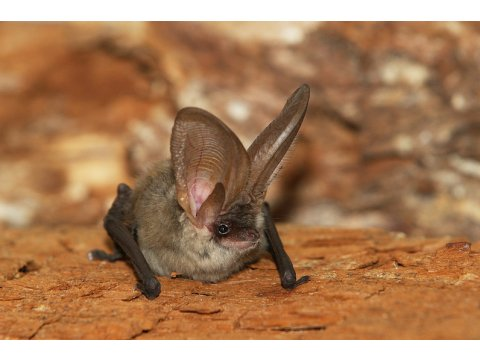 Bats, such as this brown long-eared bat (Plecotus auritus), might roost beneath loose tree bark. Photo by Rudo Jurecek.