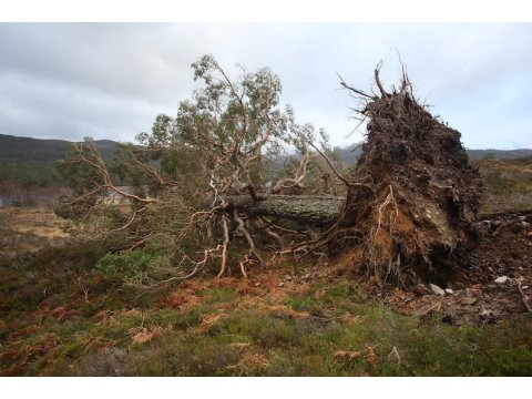 This Scots pine (Pinus sylvestris) was blown down by a storm in the winter of 2013.