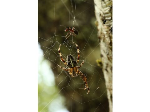 Orb web spider (Araneus diadematus) with a wood ant (Formica lugubris) caught in its web.