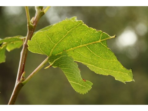 Master of deception - the caterpillar of the poplar hawk moth (Laothoe populi) looks exactly like the rolled up leaf of a poplar tree (Populus spp.)