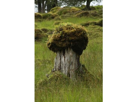 A hummock developing over the stump of a Scots pine (Pinus sylvestris).