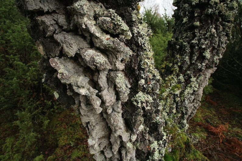 The Bark Of A Tree Such As This Birch Betula Pendula In Glen Affric