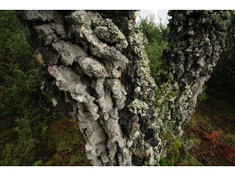 The bark of a tree such as this birch (Betula pendula) in Glen Affric, provides a rich and varied habitat for lichens, mosses and insects.