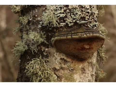 The aspen bracket fungus (Phellinus tremulae) on an aspen tree (Populus tremula) on Dundreggan.