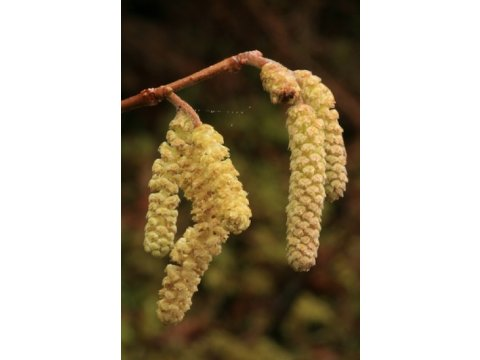 Male catkins on a hazel tree (Corylus avellana) on Dundreggan in early March. Pollen released from the catkins is dispersed by the wind and pollinates the tiny red female flowers, which then develop into hazelnuts during the summer.