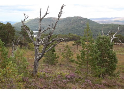 Standing dead pines, or snags, such as these at Coille Ruigh na Cuileige in Glen Affric, can survive for many decades before falling over.