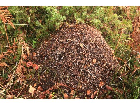 Nest of wood ants (Formica lugubris). An old tree stump can often be found at the core of nests which are then covered in a mound of needles and subsoil galleries.