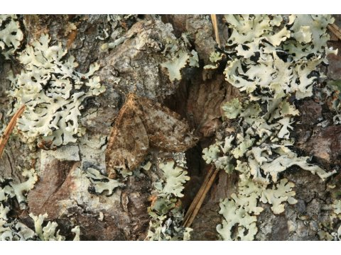 The water carpet moth (Lampropteryx suffumata) is almost invisible on this lichen covered Scots pine (Pinus sylvestris).