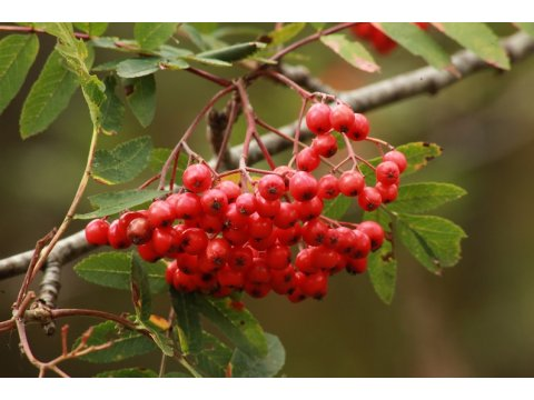 Rowan (Sorbus aucuparia) berries are eaten by many birds and mammals in the forest.