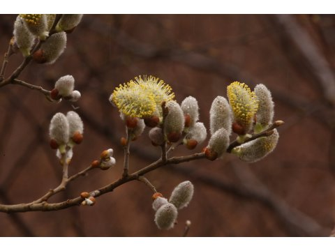 Male flowers of an eared willow (Salix aurita) are pollinated by hoverflies, who gain nectar in exchange for their services.