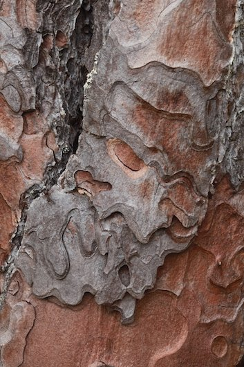 Bark Pattern Of A Scots Pine Pinus Sylvestris
