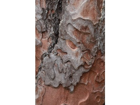 Bark pattern of a Scots pine (Pinus sylvestris).