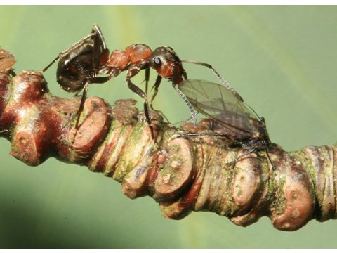 Wood ant (Formica lugubris) tending aphid (Pterocomma tremulae) on aspen.