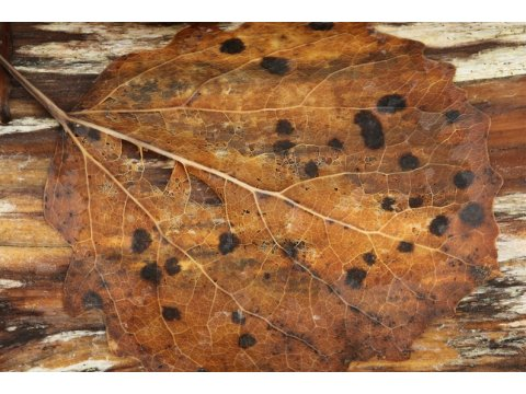 This leaf has been colonised by a fungus that will help to break down its tissues.