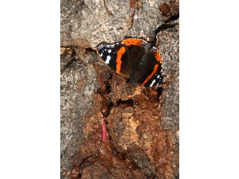 Red admiral butterfly (Vanessa atalanta) feeding on frass & sap exudate from goat moth larva (Cossus cossus) on a birch tree, with larva visible.