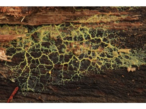 This green structure is the plasmodium of a slime mould that is helping to break down this aspen (Populus tremula) log on Dundreggan.