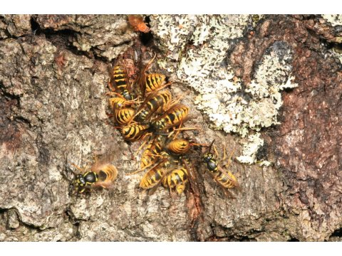 Common wasps (Vespula vulgaris) feeding on the same tree.