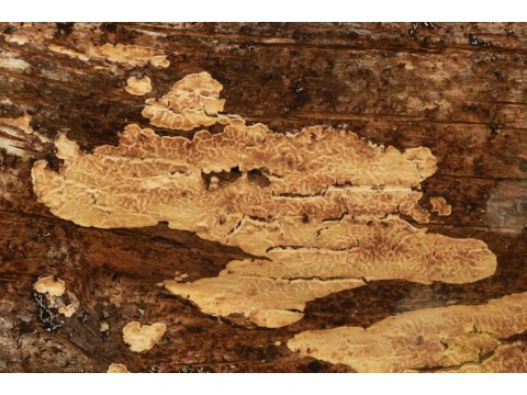 This fungus (Dacryobolus karstenii) helps to break down the wood of trees, such as this Scots pine (Pinus sylvestris) log.