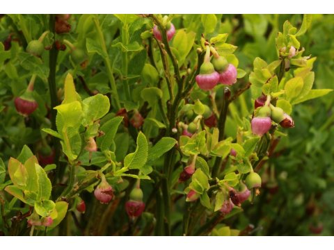 Blaeberries (Vaccinium myrtillus) have mycorrhizal fungi associated with them.