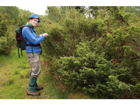 Ed Baker looking at aphids on a juniper bush at Dundreggan during his survey in June 2012.