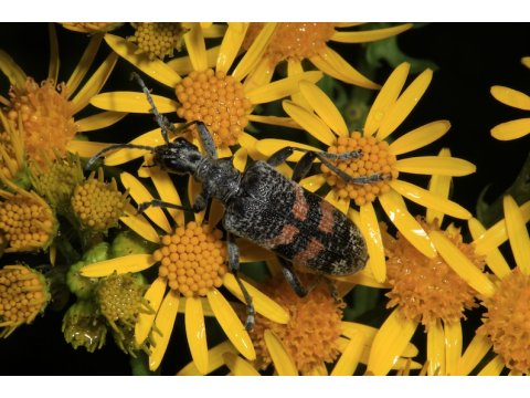 Longhorn beetle (Rhagium mordax) on the flowers of ragwort (Senecio jacobaea) on Dundreggan. Ragwort attracts many insect pollinators when it blooms in late summer.
