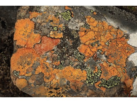 Orange lichen (Porpidia melinodes) and map lichen (Rhizocarpon geographicum) growing on a rock in Glen Affric.