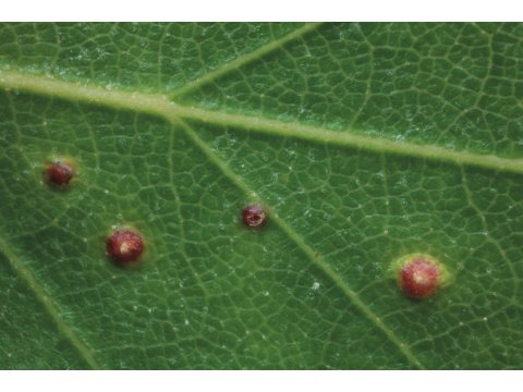 Galls induced by a mite (Cecidophyopsis betulae) on a silver birch leaf on Dundreggan.