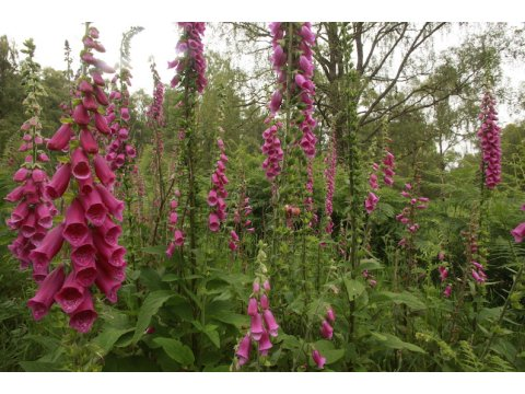 The flowers of foxgloves (Digitalis purpurea) have evolved for pollination by longer-tongued bees.