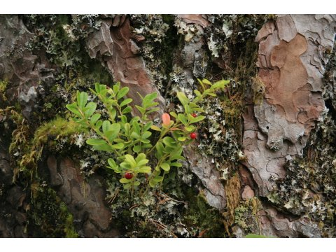 Cowberry plant growing on the bark of a Scots pine in Glen Affric. The bark is made up of multiple layers, which fit on top of each other like three dimensional jigsaw pieces.