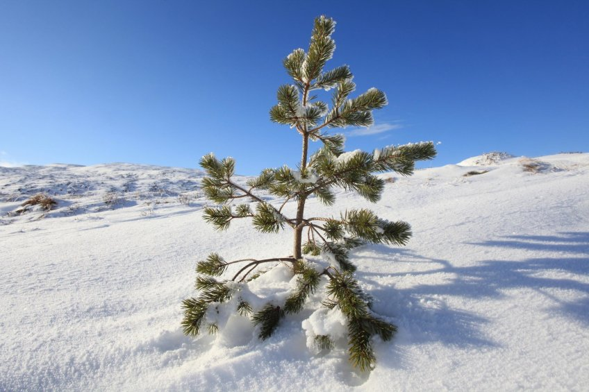 (medium) Scots pine seedling in snow, inside dwarf birch exclosure Dundreggan