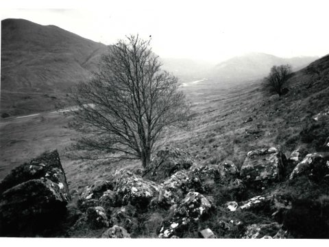 Old rowan trees at Carnach Mor November 1992