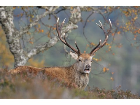 This red deer stag (Cervus elaphus) may look like a single individual animal, but in fact it has a whole host of symbiotic bacteria in its gut.