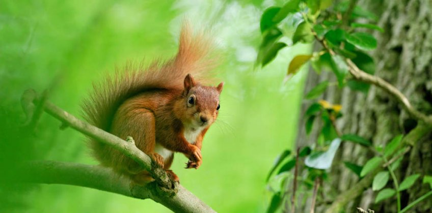red squirrel 106 L.Campbell